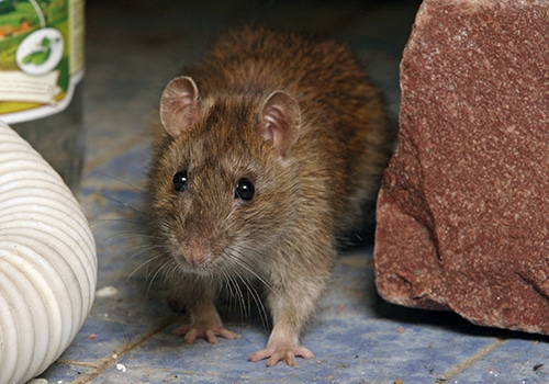 rodent removal service kenosha mice removal service kenosha, rat removal service kenosha